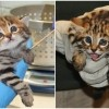 Najslađi stanovnici filadelfijskog zoološkog vrta - divlje mačke s crnim šapicama