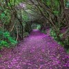 Rhododendron Tunnel in Reenagross Park, Kenmare Ireland