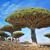 Dragonblood drveće, Socotra, Jemen