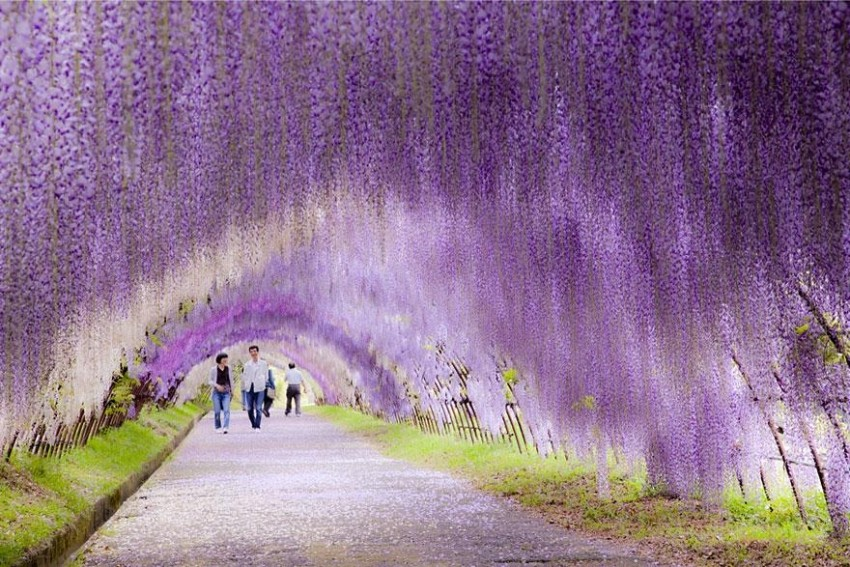 Wisteria Flower Tunnel Path in Japan