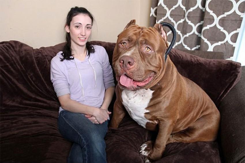 Preslatki Hulk je najveći pitbull na svijetu
