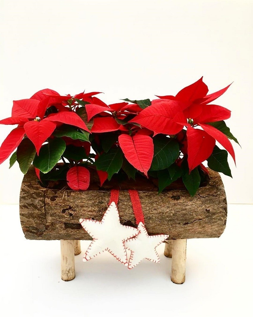 Trikovi uz koje će Božićna zvijezda dugo krasiti vaš dom