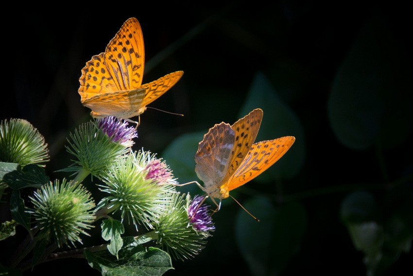 Leptirići